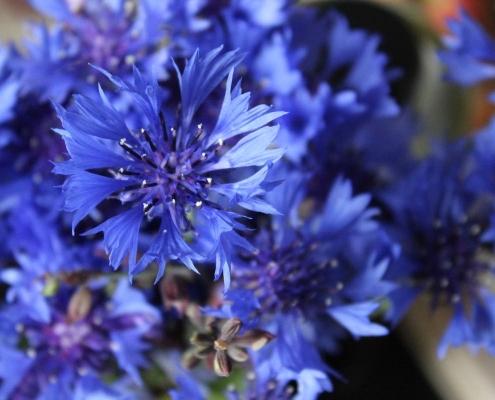 bluehflaeche kornblume