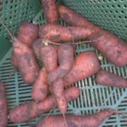 20.11.20 Karottenernte